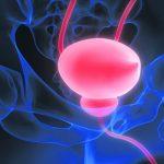 Human Urinary System Kidneys with Bladder Anatomy